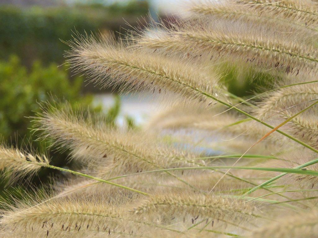 Siergras - Tuintaken September - Tuinkalender