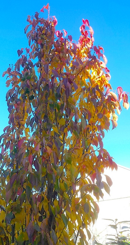 Herfstkleuren in de kleine tuin - Prunus serrulata Amanogawa sierkers herfst