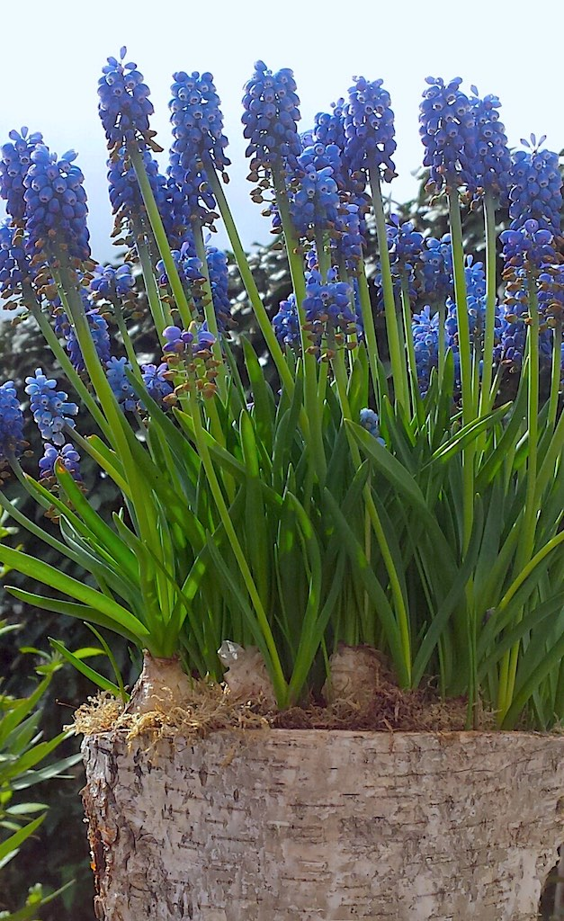 Tot wanneer kan je nog bloembollen planten?