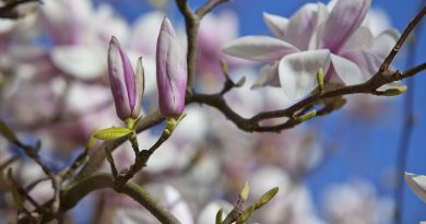 Tulpenboom: Magnolia of Liriodendron?