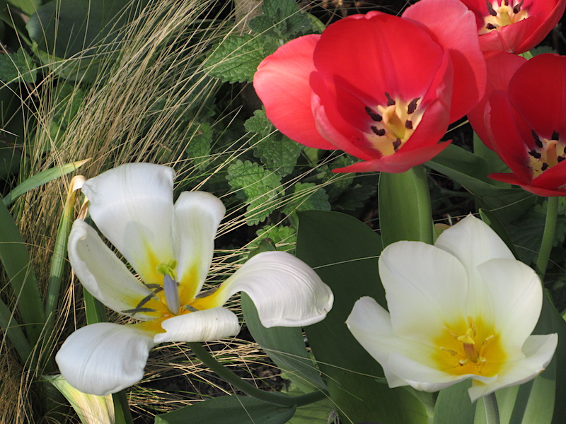 Tulpen geplant in december