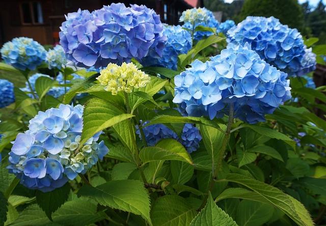 Blauwe hortensia - zure grond