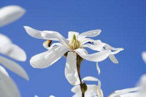 Magnolia stellata - zure grond