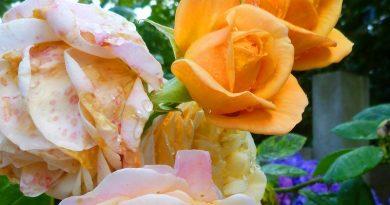 Mijn roos bloeit op één tak in een andere kleur: Hoe kan dit?