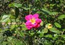 Help, mijn roos krijgt allemaal zwarte vlekjes!