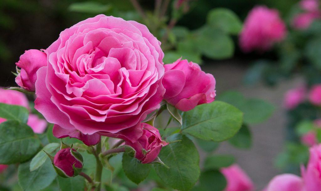 Rozen - Welke roos staat in jouw tuin?