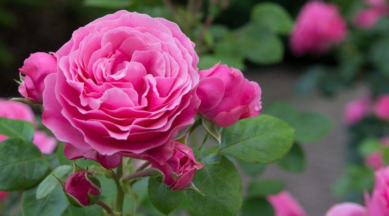 Rozen: Welke roos staat in jouw tuin?