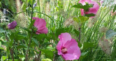 Is Hibiscus winterhard? Er is nog steeds geen blad!