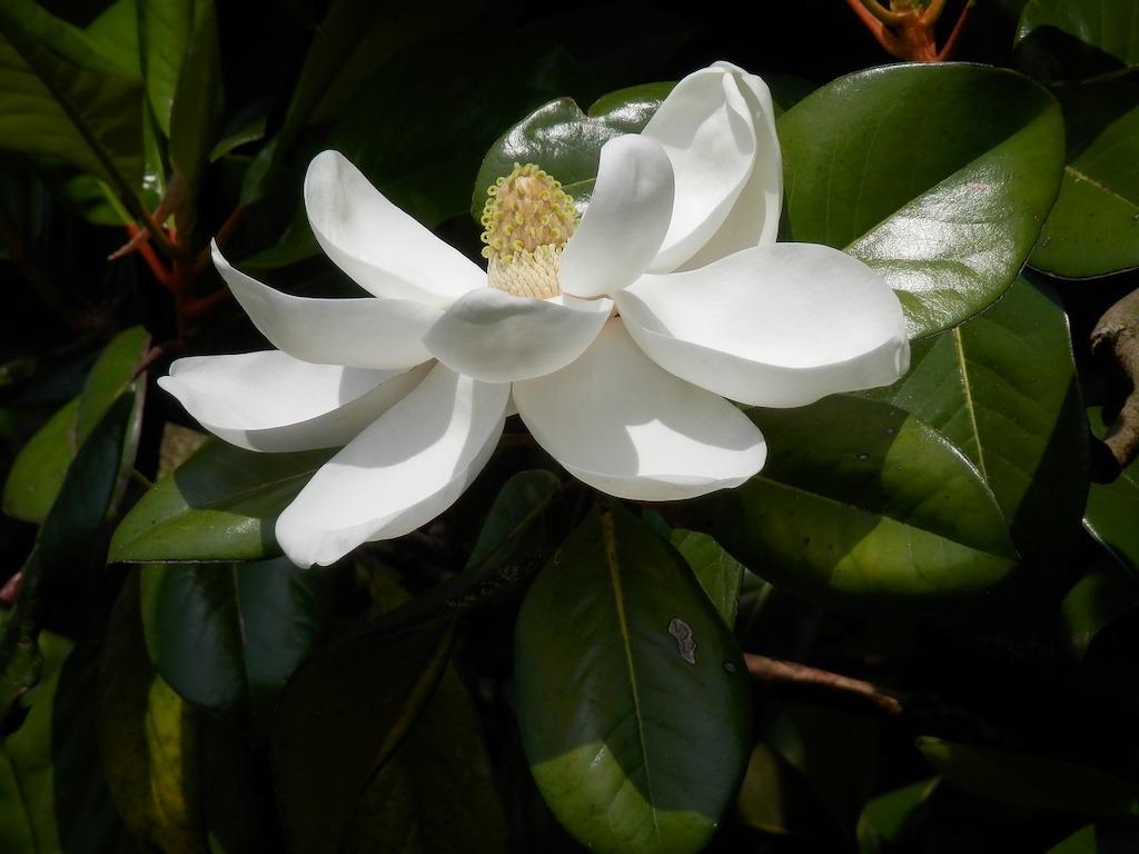 Magnolia grandiflora hoe hoog hoogte