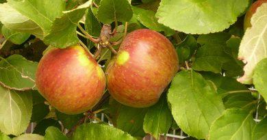 Is Elstar appelboom zelfbestuivend?