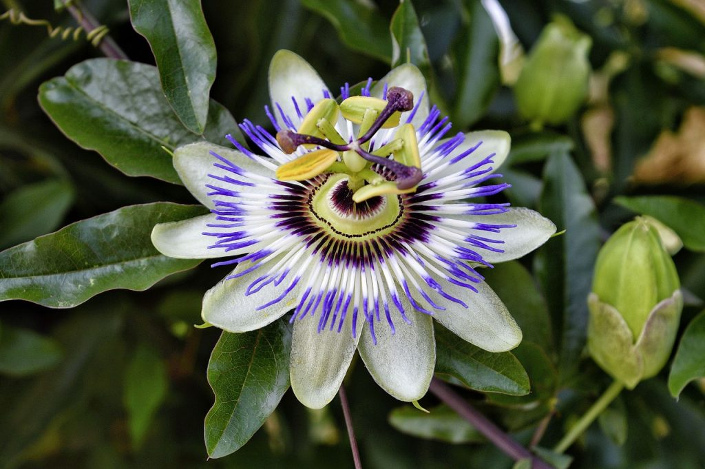 Zijn vruchten van een passiebloem eetbaar?
