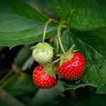 Fruit in kleine tuin - aardbeien