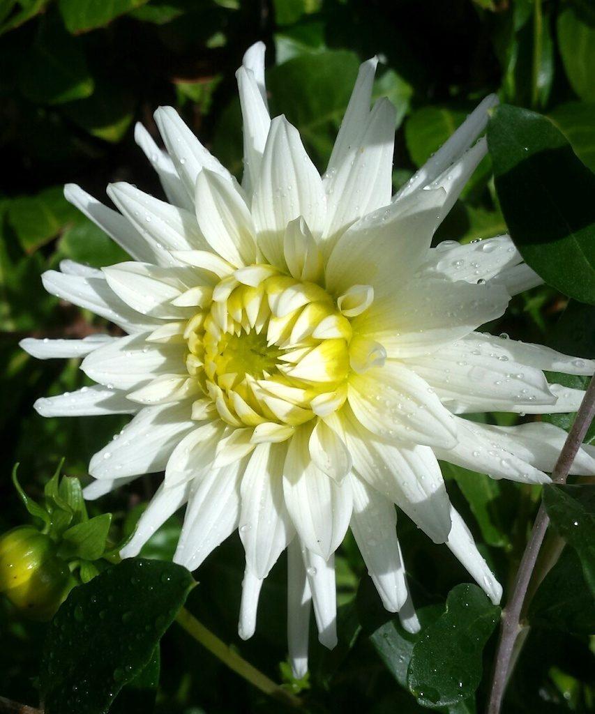 Waarom bloeit Dahlia niet?