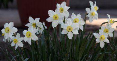 Hoe diep bloembollen planten?