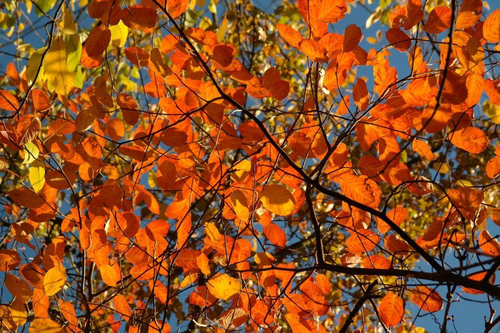 Herfstkleuren in de kleine tuin - Amelanchier krentenboom herfst
