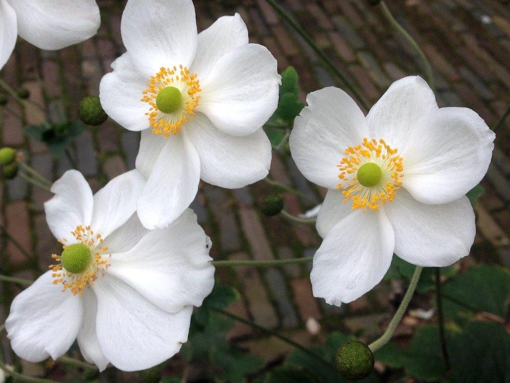 Schaduwplanten - Anemone hybrida en Anemone hupehensis (herfstanemoon)