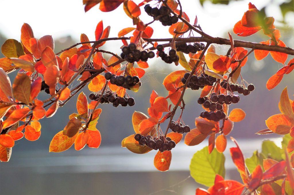 Herfstkleuren in de kleine tuin - Aronia appelbes herfst