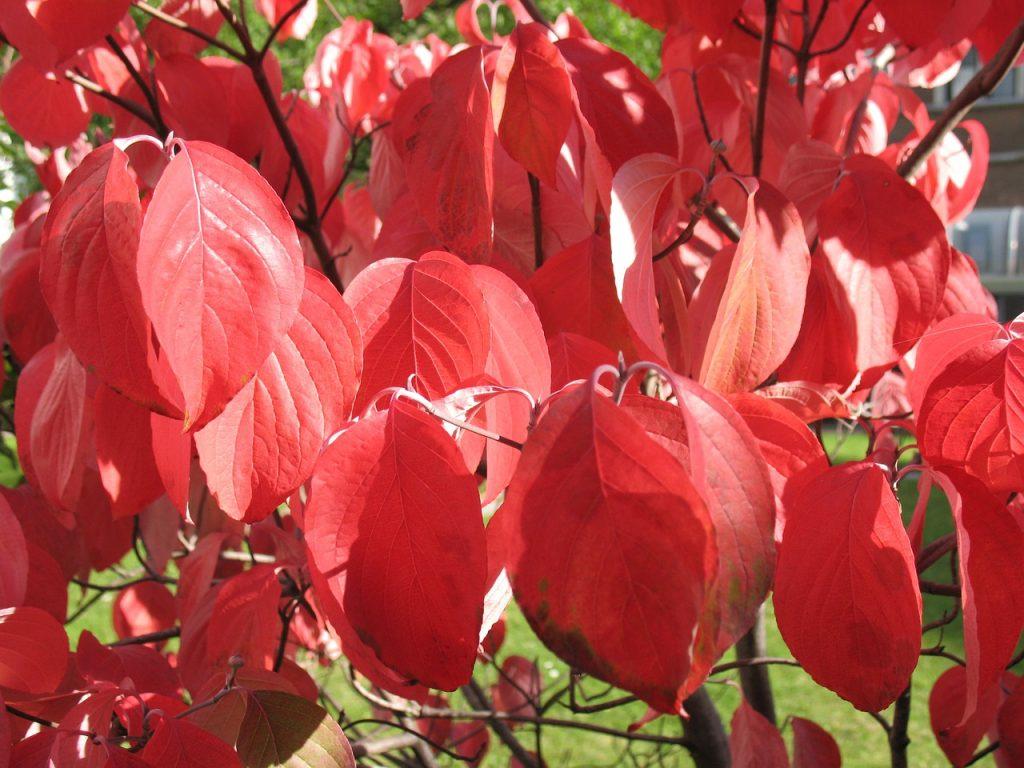Herfstkleuren in de kleine tuin - Cornus kousa kornoelje herfst