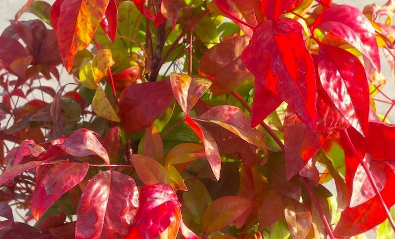 Herfstkleuren in de kleine tuin - Nandina domestica hemelse bamboe herfst