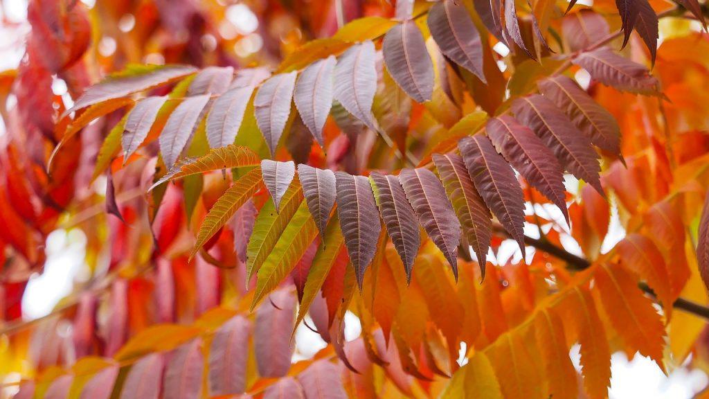 Herfstkleuren in de kleine tuin - Rhus fluweelboom herfst