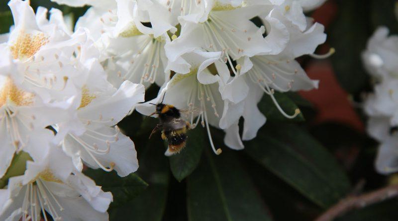 Kan een rhododendron twee keer bloeien? - nabloei