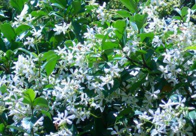 Is Toscaanse jasmijn winterhard? (sterjasmijn)