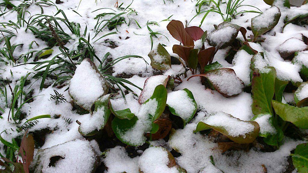 Wintergroene schaduw planten - Bergenia cordifolia (schoenlappersplant)