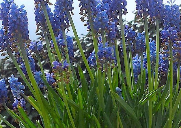 Tot wanneer kan je bloembollen planten?