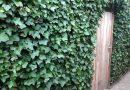 Klimplanten voor een smalle haag, maar wel een dichte haag