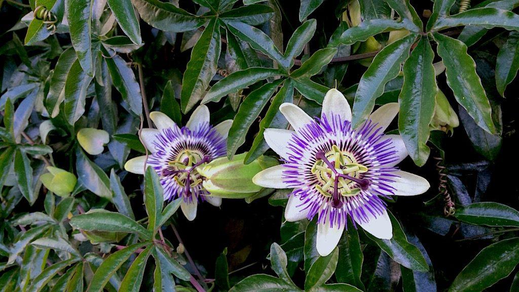 Klimplanten voor een smalle haag - Passiebloem of Passiflora