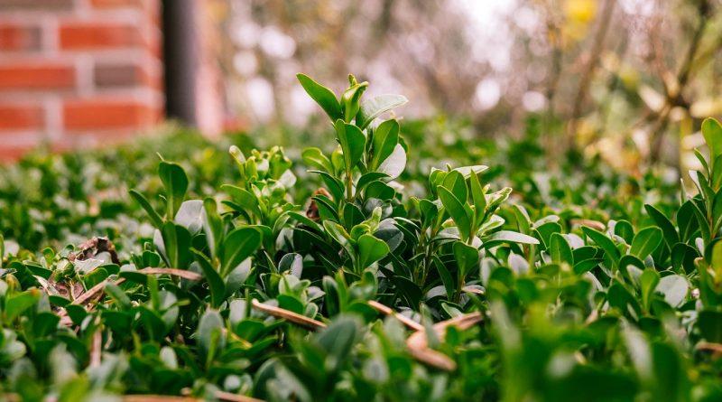 Wel of geen Buxus meer planten?