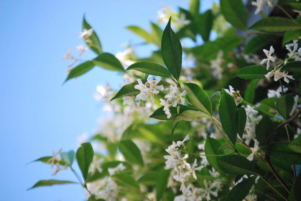 Welke klimplanten blijven groen in de winter? - Wintergroene klimplanten