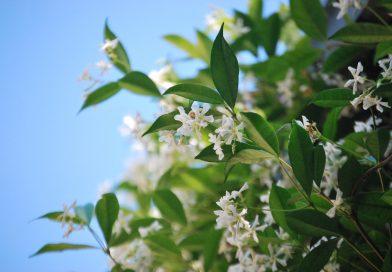 Welke klimplanten blijven groen in de winter?