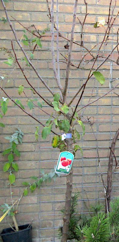 Hoogte van halfstam fruitboom - Hoe hoog is een halfstam?