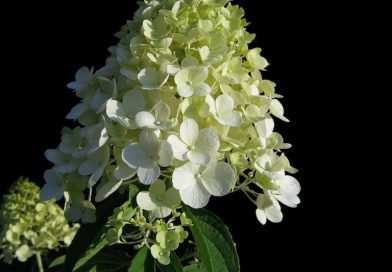 Wanneer pluimhortensia snoeien? En hoe? - Hydrangea paniculata