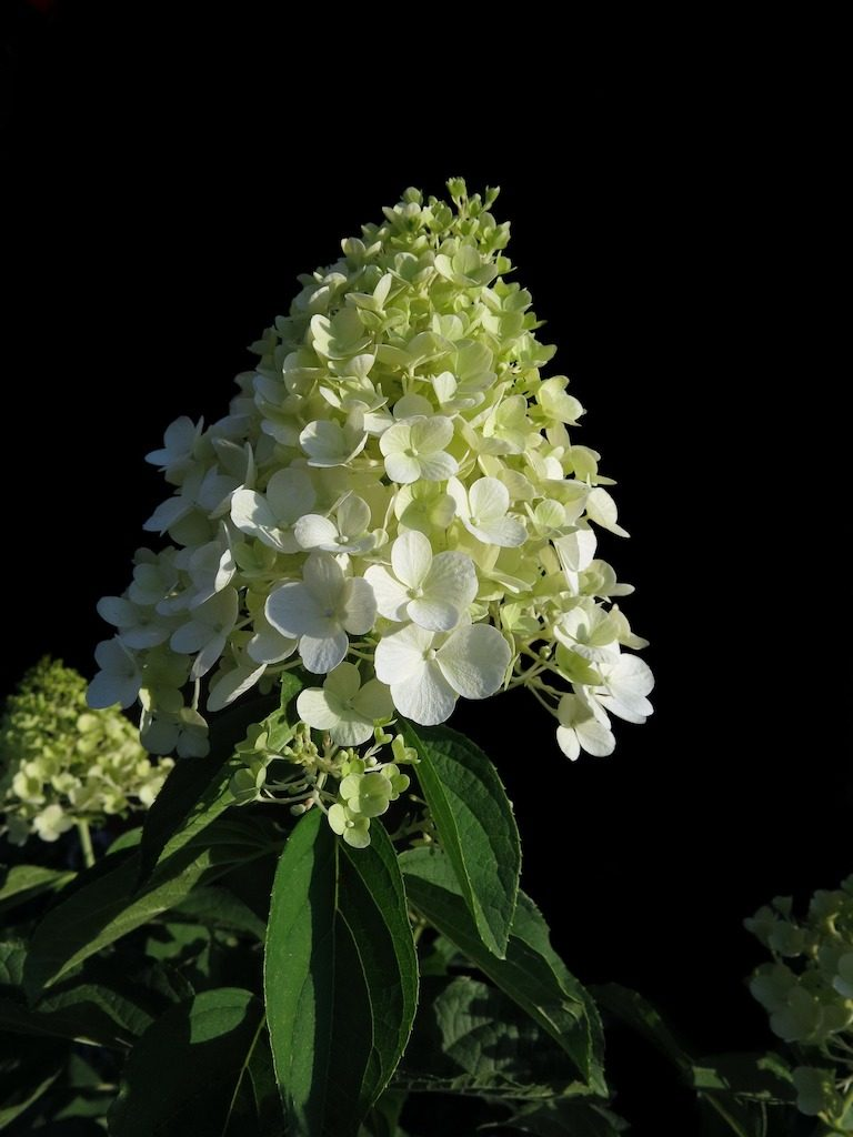 Wanneer pluimhortensia snoeien? En hoe? -Hydrangea paniculata