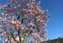 Hoe hoog wordt een Magnolia (welke blijven klein)?