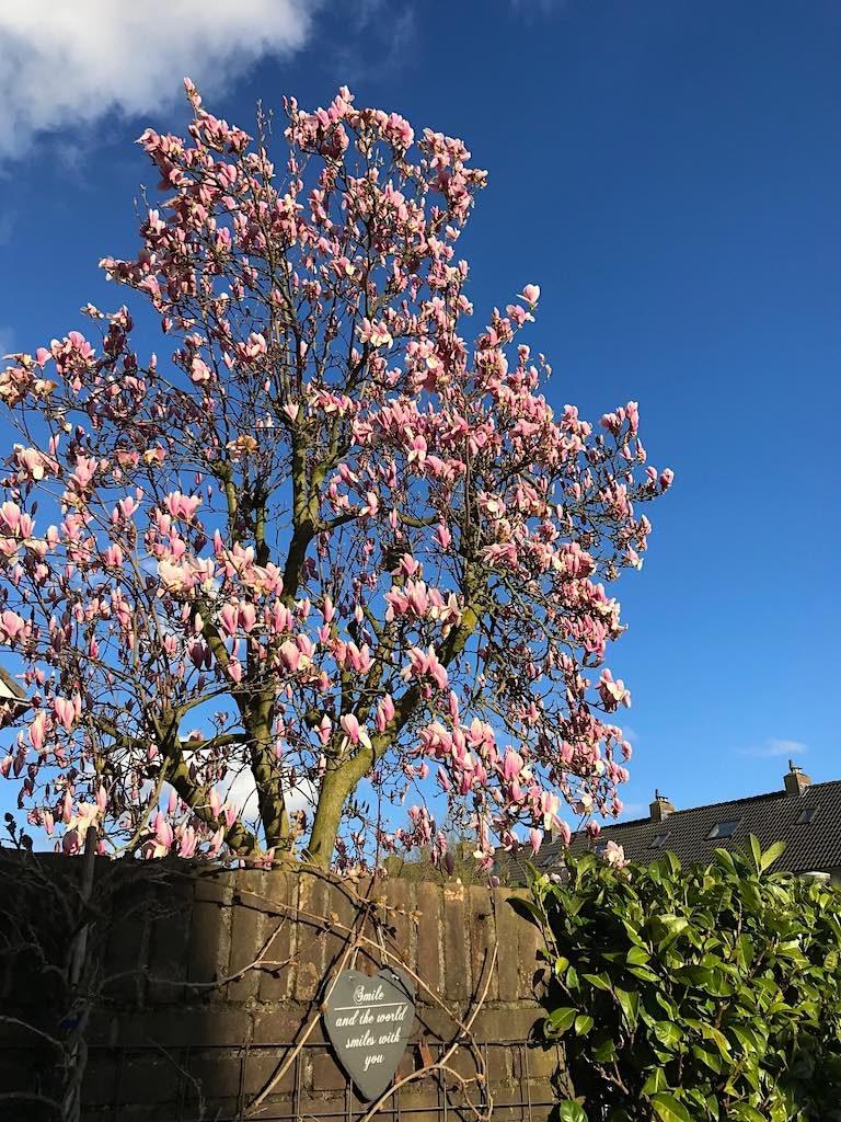 Magnolia soulangeana in kleine tuin