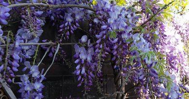 Wat is het verschil tussen Wisteria sinensis en floribunda?