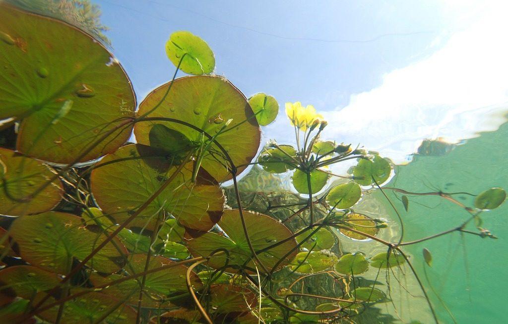 Hoe diep plant je een waterlelie?
