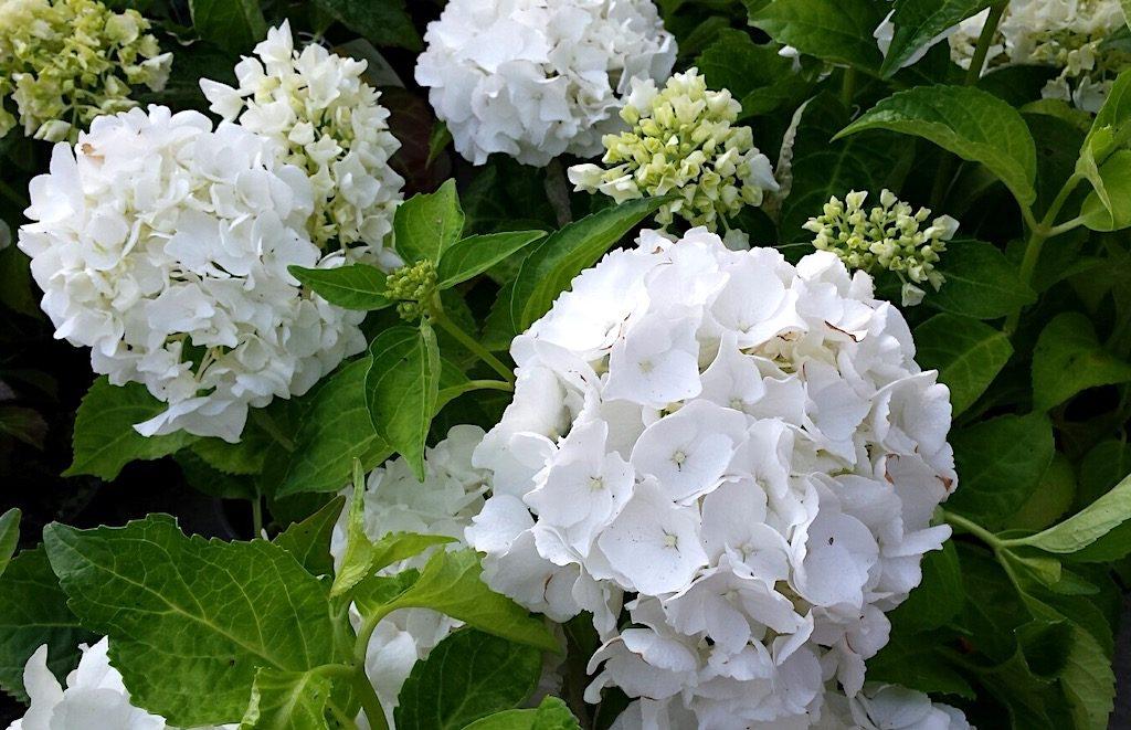 Hortensia, Hydrangea macrophylla, Pluimhortensia, Hydrangea paniculata, Hydrangea arborescens