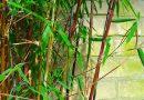 Welke bamboe blijft smal?
