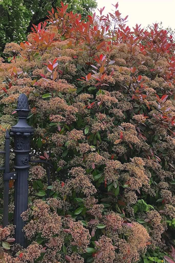 Mooiste wintergroene bomen voor de kleine tuin (bladhoudend)