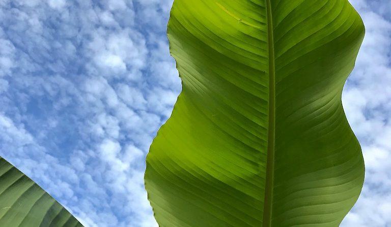 Hoe banaan beschermen in de winter (tegen vorst, kou en vocht)?