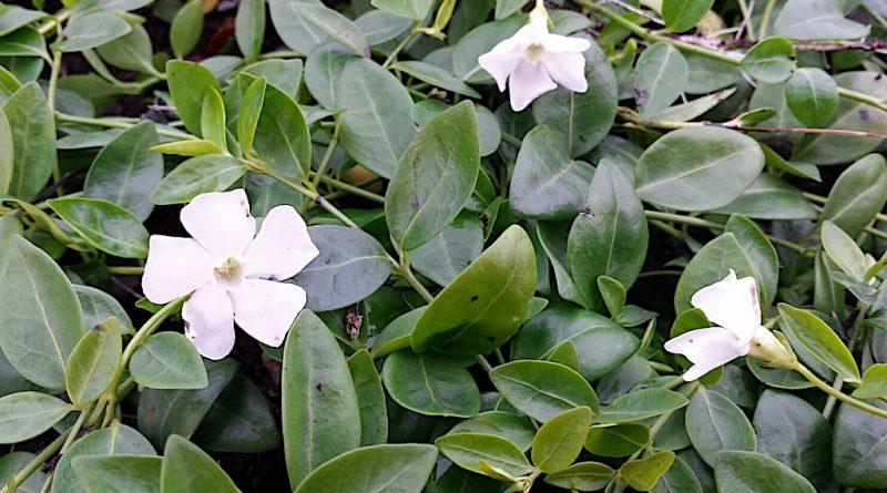 Welke bodembedekkers bloeien wit?