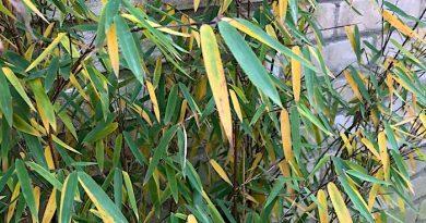 Bamboe wordt kaal in de winter