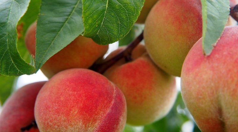 Krijgt een abrikoos of perzik vruchten in ons land?
