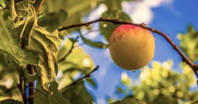 Welke perzik rassen hebben geen laste van krulziekte of zijn resistent?