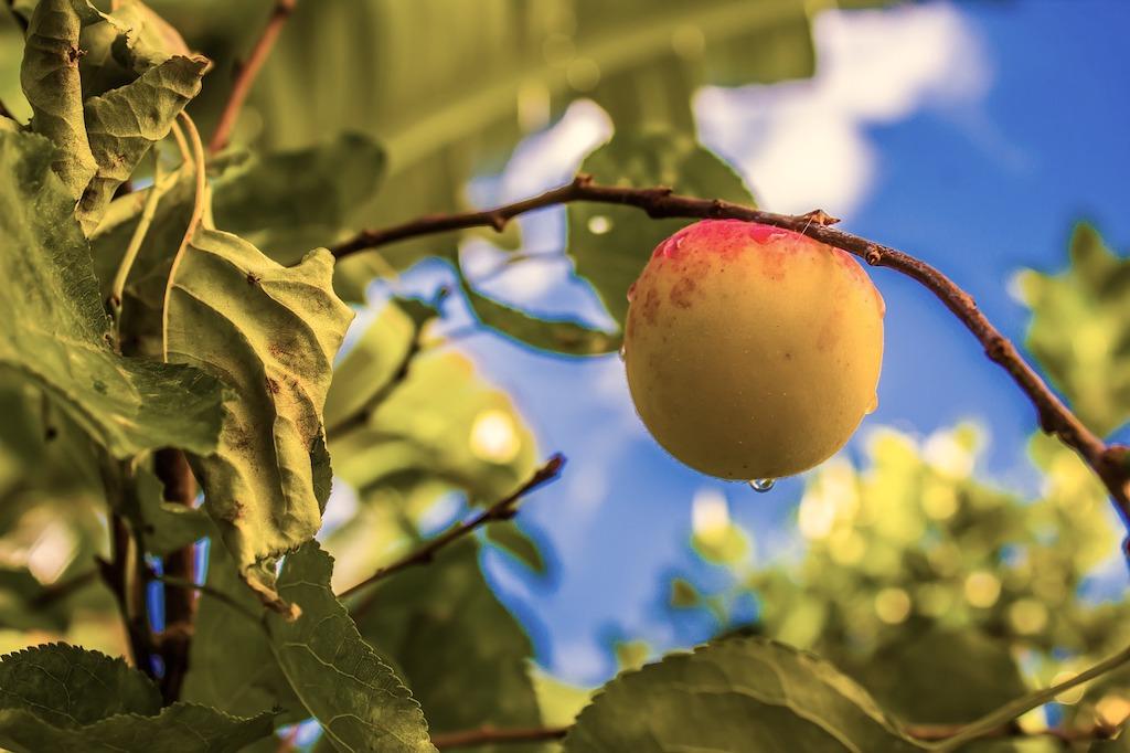Welke perzik rassen hebben geen last van krulziekte? Krulziekte resistente perzik?
