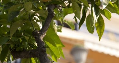 Welke bomen in pot of plantenbak?